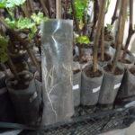 Саджанці винограду від 60 грн в м. Бориспіль
